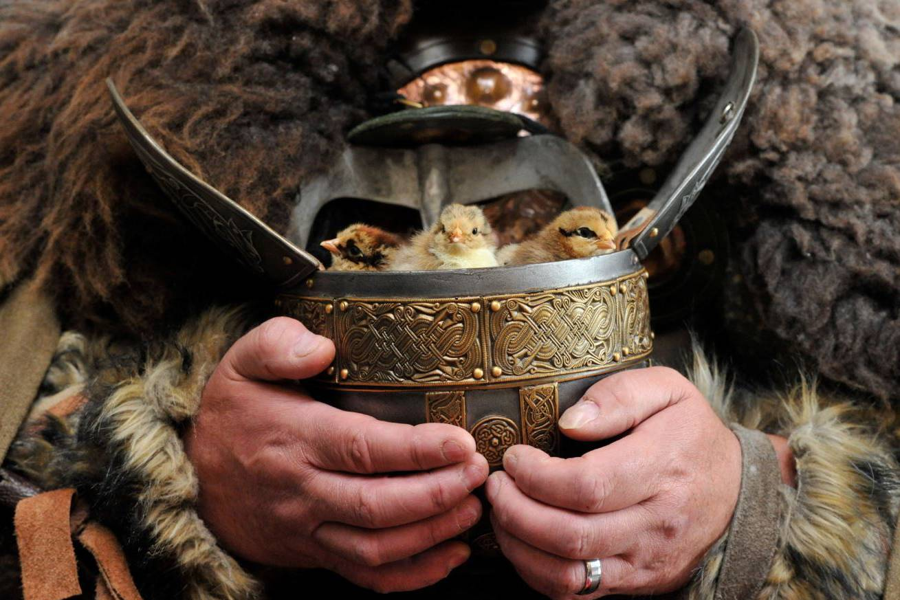 Kynren Viking Village to open on June 29 and feature rare Icelandic chicks